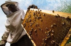 Can you spot a bumble bee? One of the lessons learnt at Ireland's beekeeper school