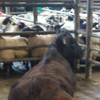 Bullock with serious injuries left unaided and alone at Mayo cattle mart for 10 hours