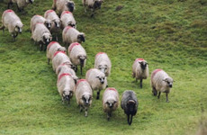 'It's like a war zone': Warnings issued to dog owners after spate of attacks on sheep in Wexford