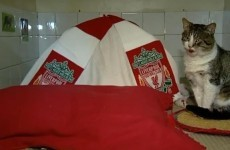 Anfield Cat - renamed 'Shankly' - needs a new home