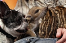 In pictures: Bulldog adopts six wild boar piglets in Germany