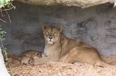 First-ever litter of Asian lion cubs born at Fota Wildlife Park