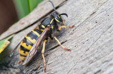 Bright clothes, shampoo and ice cream: Why wasps swarm around us at this time every year