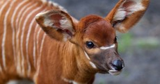 In photos: Dublin Zoo's new eastern bongo