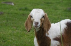 """Goats """"have accents"""""""
