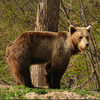 Animal rights groups outraged at Romania's plan to kill bears and wolves