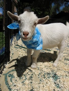 It's Friday so here's a slideshow of goats from around the world