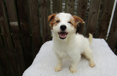 Photos: The ISPCA is appealing for homes for 28 Jack Russell terriers