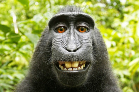 The selfie of the monkey which appeared in the wildlife book.