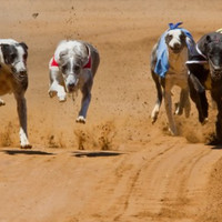 Champion greyhound tests positive for cocaine three times