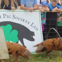 'You're through the ring of fire': Take a tour of the 'Pig Olympics' course at the Ploughing