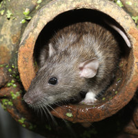 Pest controllers called to deal with large-scale rat infestation in Wheatfield Prison