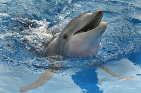 A dolphin at a public aquarium in Florida