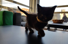 A 'cat lounge' is finally opening in Dublin next week - and the kittens are just adorable