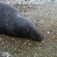 Two seals found shot at Tramore beach