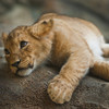 Half-starved lion cub found 'wasting away' in abandoned Paris apartment