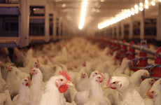 Poisonous poo: Polluted chicken muck is piling up in The Netherlands
