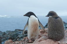 Mass starvation kills all but two penguin chicks in Antarctic colony