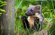 Westmeath councillor wants to take pine martens off the protected species list