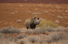 Alleged poacher arrested after rhino he was targeting attacks and injures him