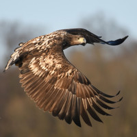 'Ireland makes headlines in Norway when a white-tailed eagle is killed here'