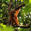 New species of orangutan discovered in Indonesia - but it's already endangered