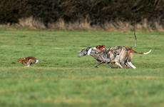 'Breathtaking hypocrisy': Calls to ban hare coursing in light of animal ban in circuses