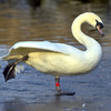 Concern after 15 swans killed by power lines in Co Donegal