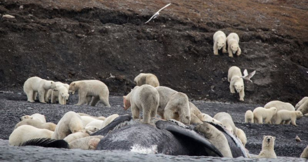 Tourists 'gobsmacked' by sight of polar bears crowded on Russian Arctic island