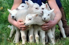 It's Friday, so here's a slideshow of lambs from around the world