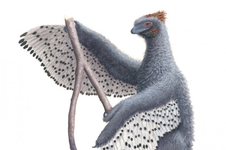 A new depiction of anchiornis and its contour feather.