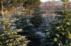'You'd get sick of the sight of them': Christmas tree growers are back to work this week