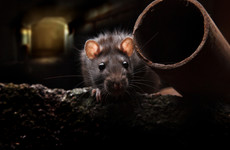 From next year, stores will have to track the sales of rodent poison
