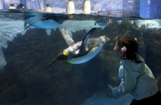 Penguin breaks out of Tokyo aquarium