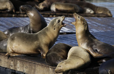 San Francisco Aquatic Park closed to swimmers after two sea lions attacks