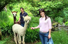 Inside the wonderful little farm in West Cork where you can go walking with alpacas