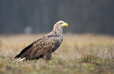 Concerns that rat poison restrictions aren't enough to protect birds of prey