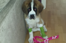 Donegal man admits illegally removing the dew claws from a St Bernard puppy