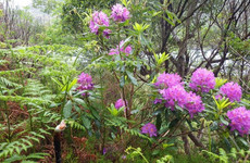 Killarney National Park 'significantly and rapidly deteriorating' due to rhododendron
