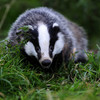 Badgers to be vaccinated against TB to stop them giving it to cattle