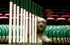 Dogs saved from death at Irish pound win big at Crufts