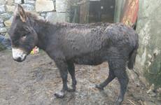 'Absolutely horrendous': 16 abandoned, malnourished donkeys rescued in Mayo