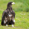 First case of 'highly pathogenic' bird flu found in eagle in Tipperary