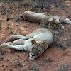 Suspected poacher mauled to death and eaten by pack of lions in South Africa