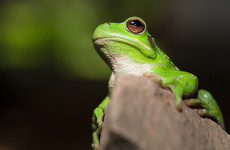 Bid to find a Valentine for Romeo, world's 'loneliest frog' who risks extinction