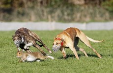 Poll: Should hare coursing be banned?
