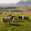 'Angry' farmers fear new sheep inspections will put pregnant ewes at risk