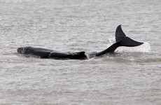 Number of whales and dolphins washing up on Irish coasts at record levels