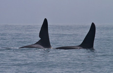 Two killer whales spotted off the coast of Kerry
