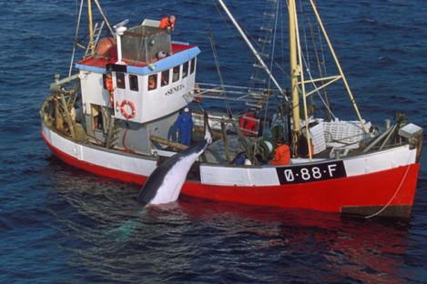 A harpooned minke whale is hauled aboard Norwegian whaling vessel.